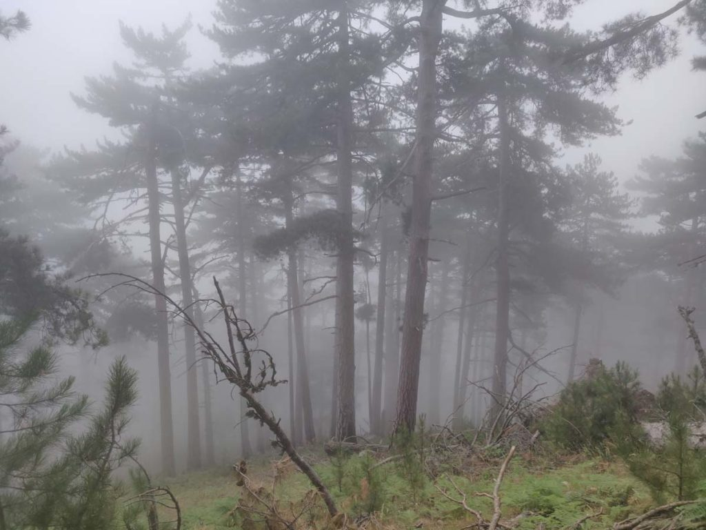 Forêts de conifères tropicales et subtropicales - Forêt de conifères tempérée